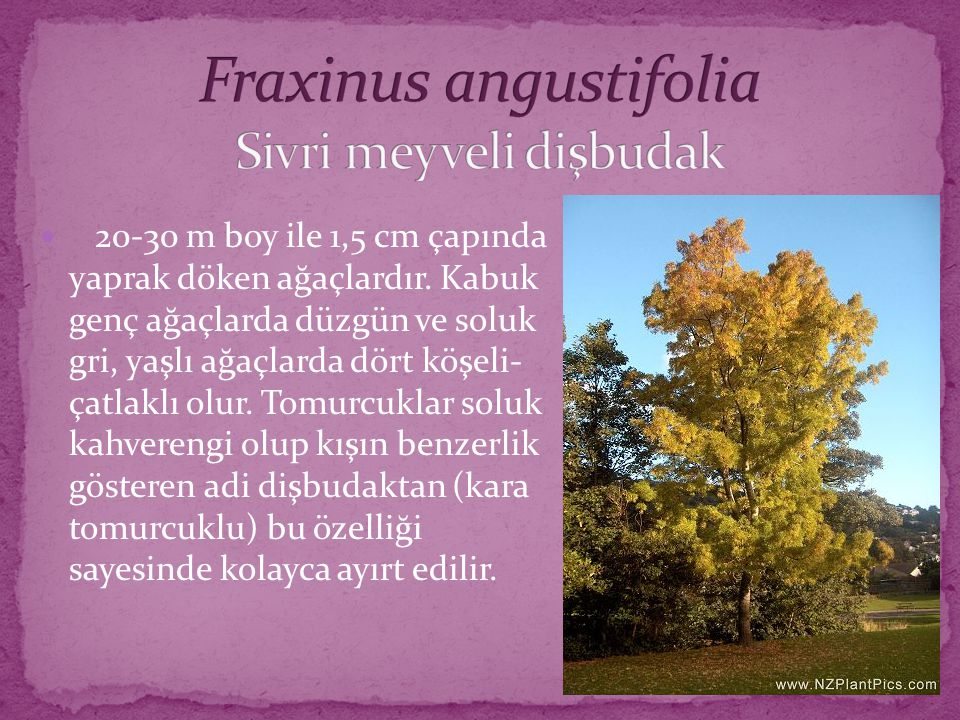 Fraxinus angustifolia Sivri meyveli dişbudak
