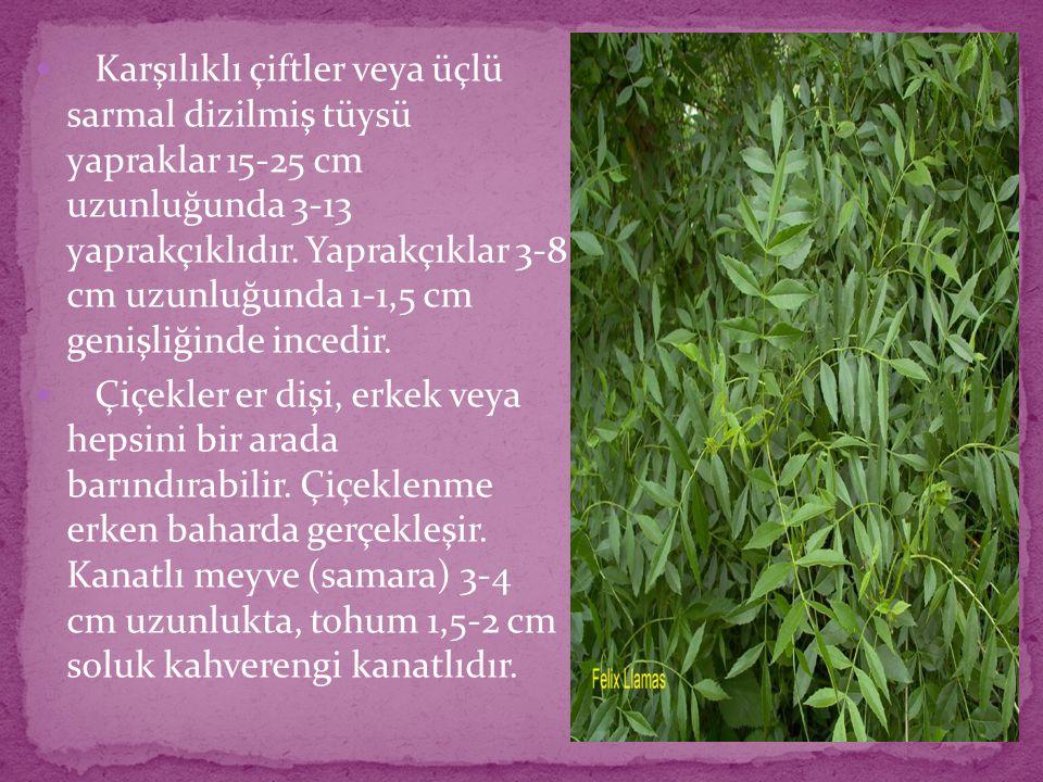 Karşılıklı çiftler veya üçlü sarmal dizilmiş tüysü yapraklar 15-25 cm uzunluğunda 3-13 yaprakçıklıdır. Yaprakçıklar 3-8 cm uzunluğunda 1-1,5 cm genişliğinde incedir.