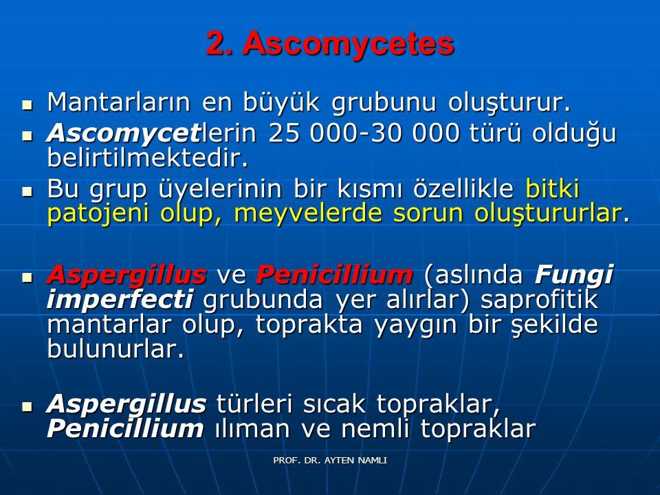 2. Ascomycetes Mantarların en büyük grubunu oluşturur.