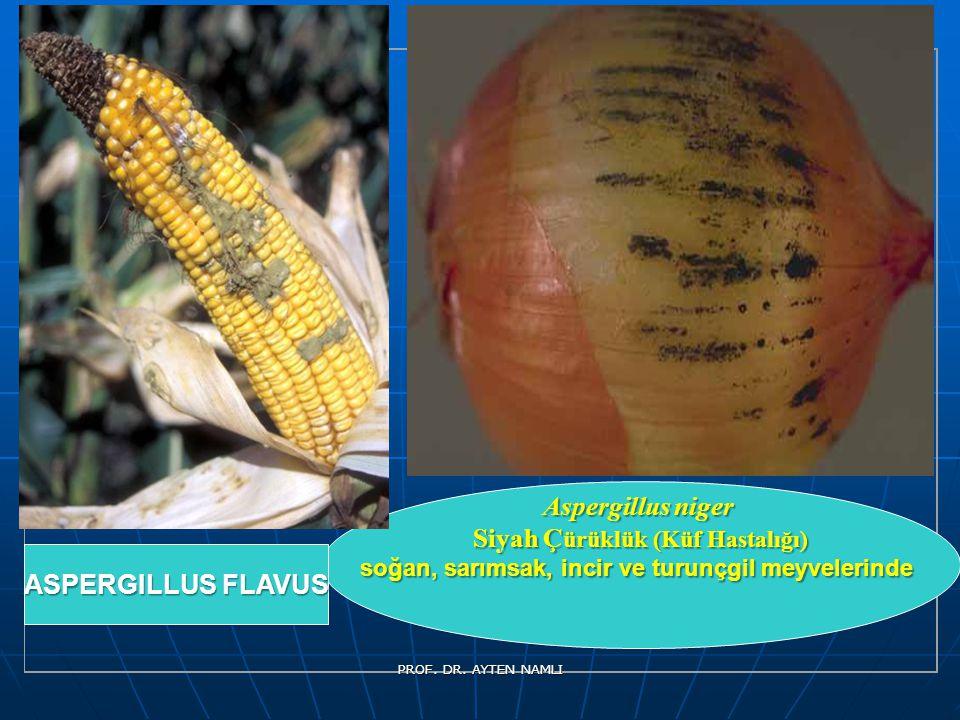 Aspergillus niger Siyah Çürüklük (Küf Hastalığı)