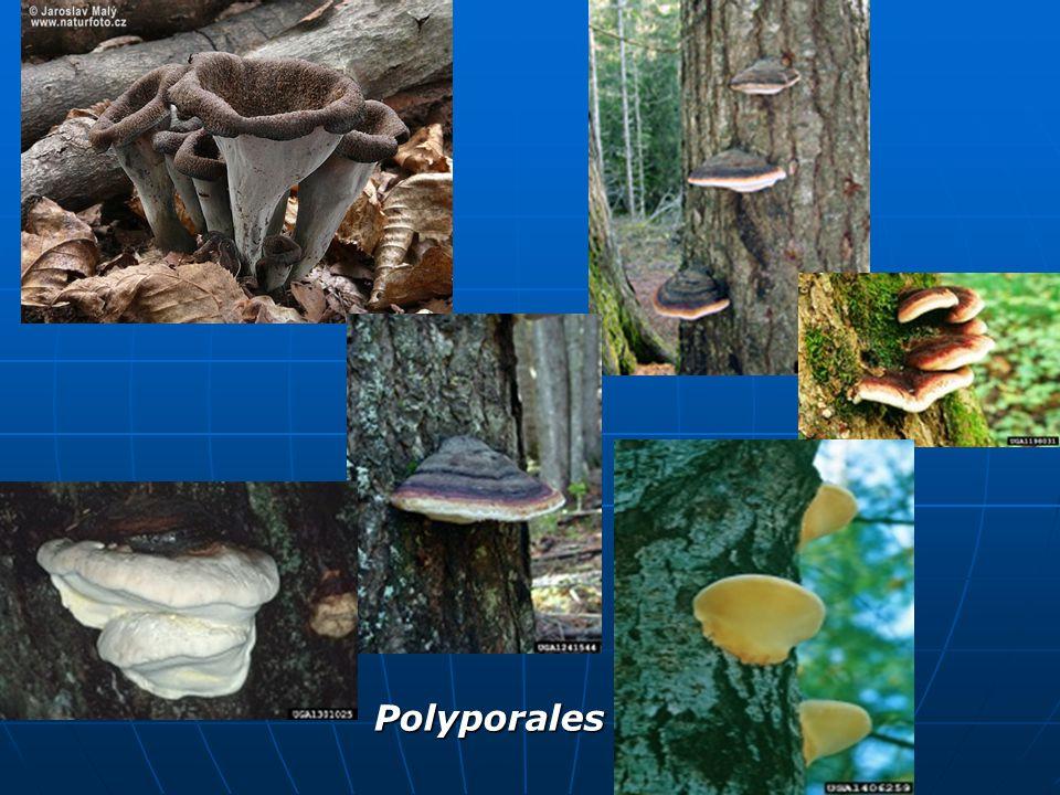 Polyporales