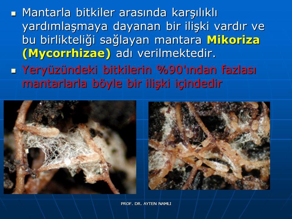Mantarla bitkiler arasında karşılıklı yardımlaşmaya dayanan bir ilişki vardır ve bu birlikteliği sağlayan mantara Mikoriza (Mycorrhizae) adı verilmektedir.