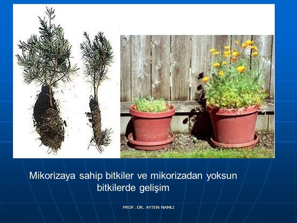 Mikorizaya sahip bitkiler ve mikorizadan yoksun bitkilerde gelişim