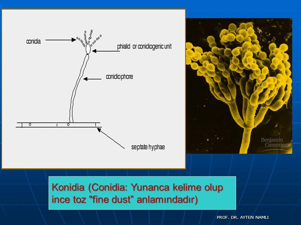 Konidia (Conidia: Yunanca kelime olup