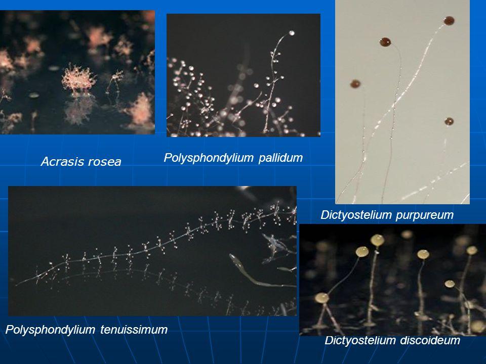 Polysphondylium pallidum