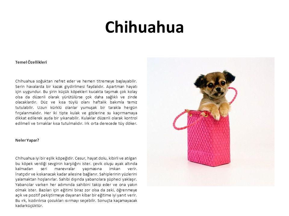 Chihuahua Temel Özellikleri