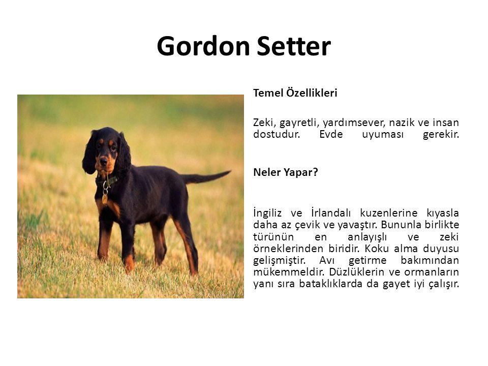 Gordon Setter Temel Özellikleri