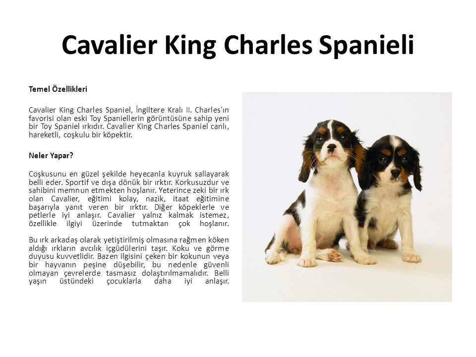 Cavalier King Charles Spanieli