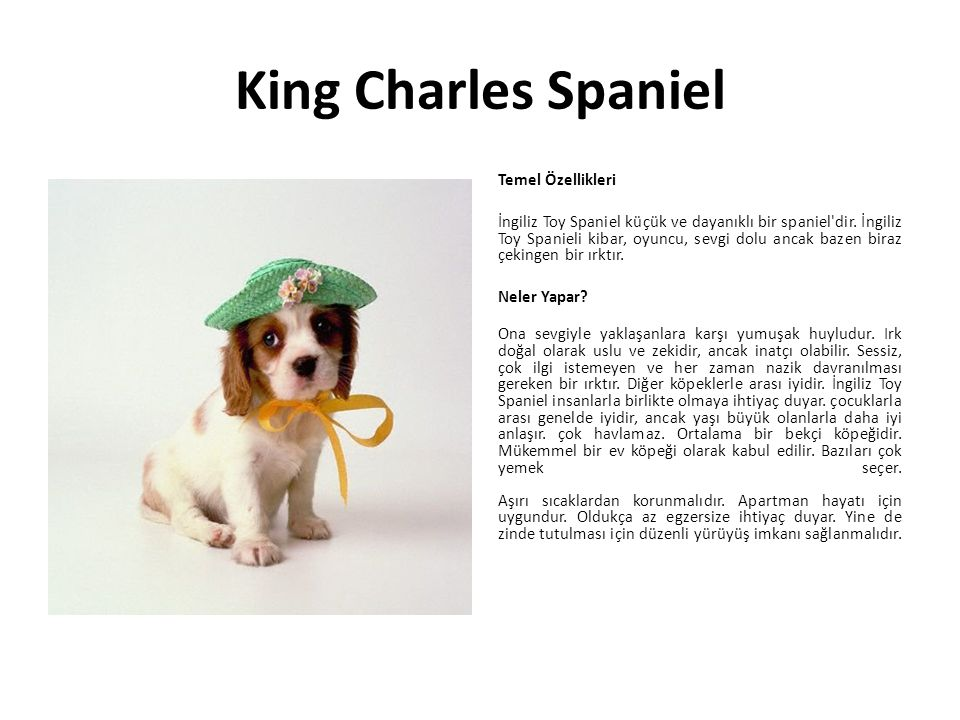 King Charles Spaniel Temel Özellikleri