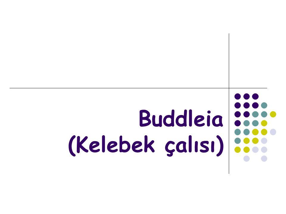 Buddleia (Kelebek çalısı)