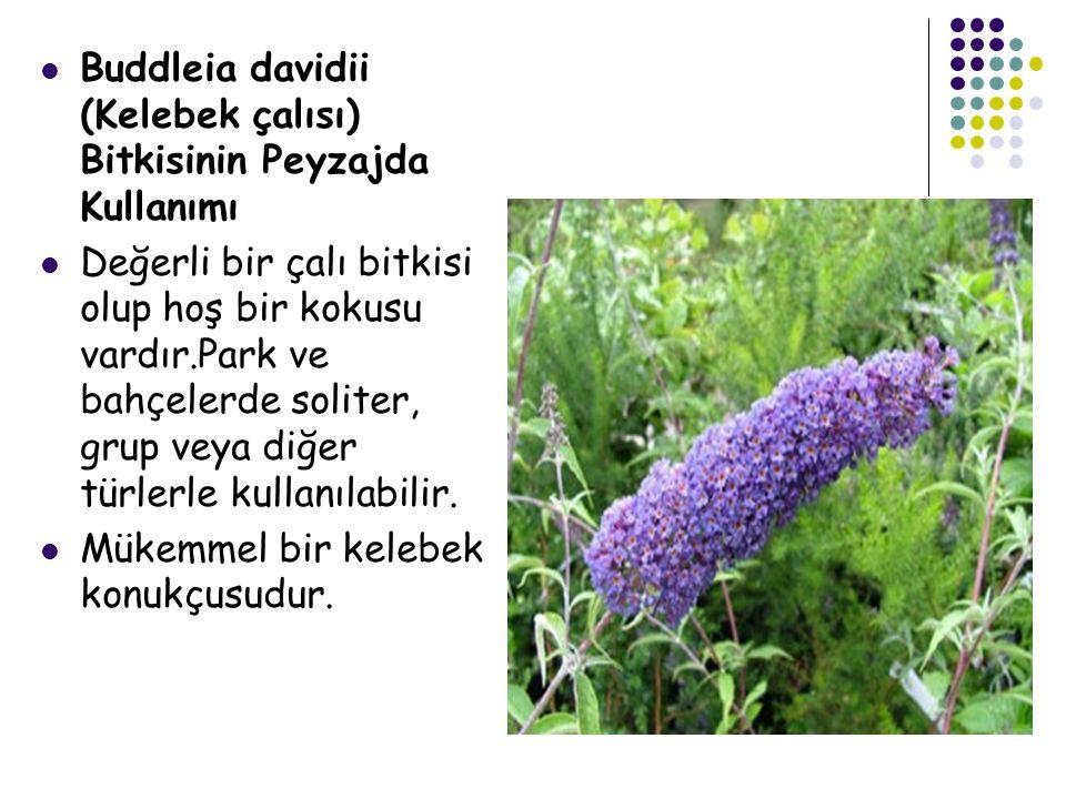 Buddleia davidii (Kelebek çalısı) Bitkisinin Peyzajda Kullanımı