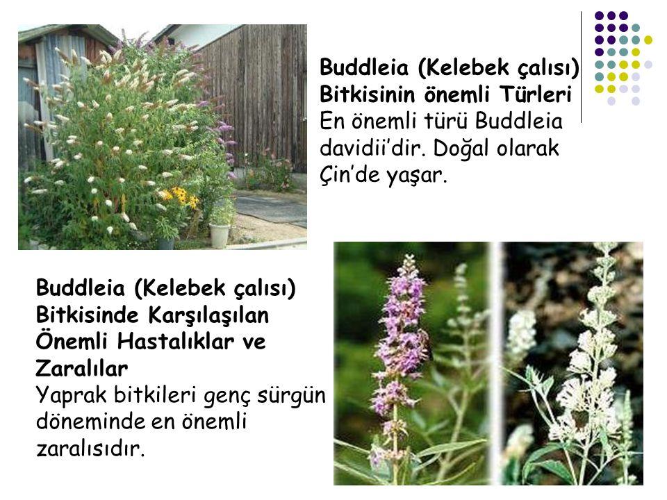 Buddleia (Kelebek çalısı) Bitkisinin önemli Türleri