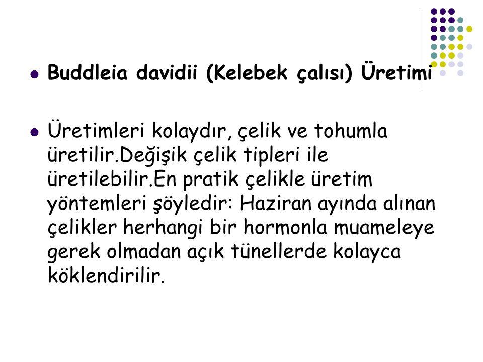 Buddleia davidii (Kelebek çalısı) Üretimi