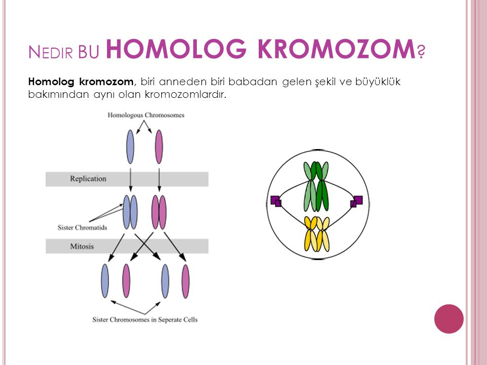Nedir BU homolog kromozom