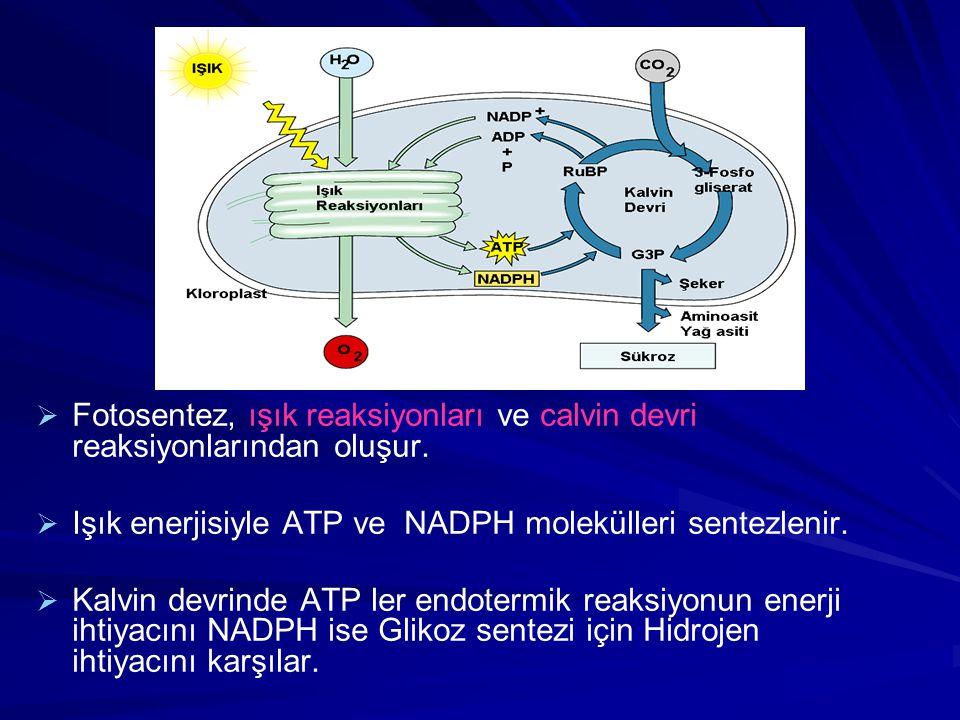 Işık enerjisiyle ATP ve NADPH molekülleri sentezlenir.