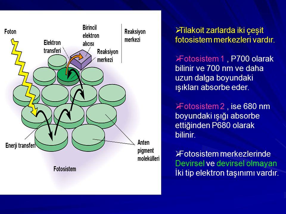 Tilakoit zarlarda iki çeşit fotosistem merkezleri vardır.