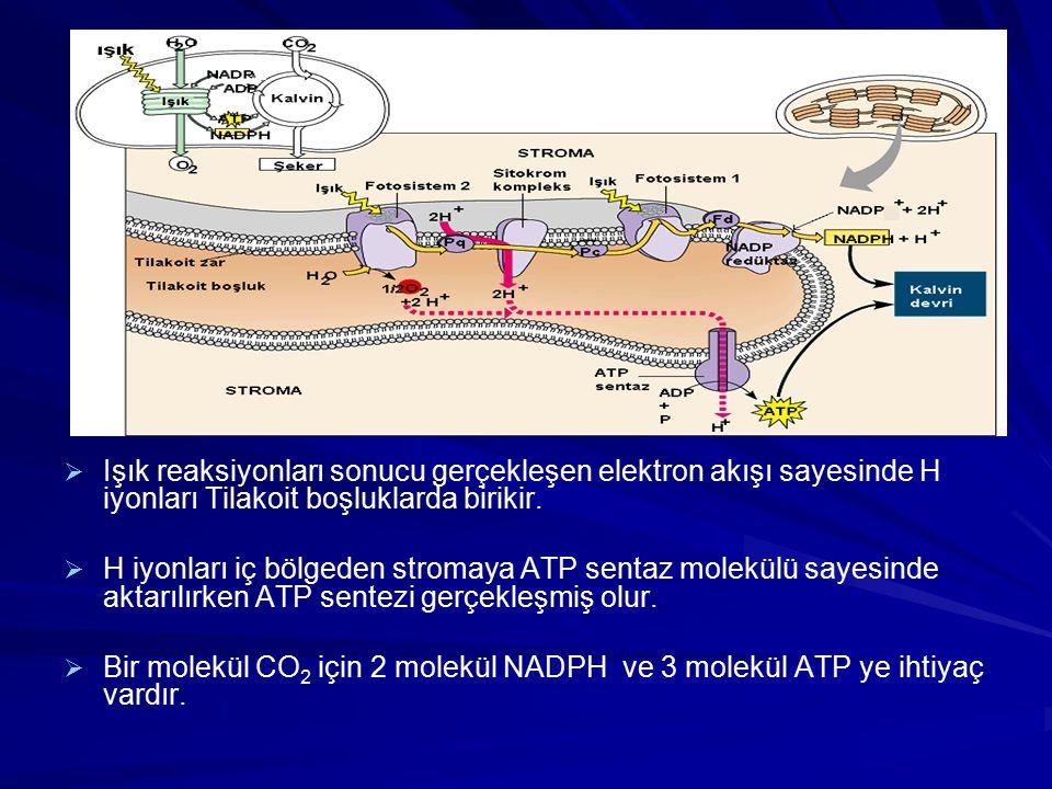Işık reaksiyonları sonucu gerçekleşen elektron akışı sayesinde H iyonları Tilakoit boşluklarda birikir.