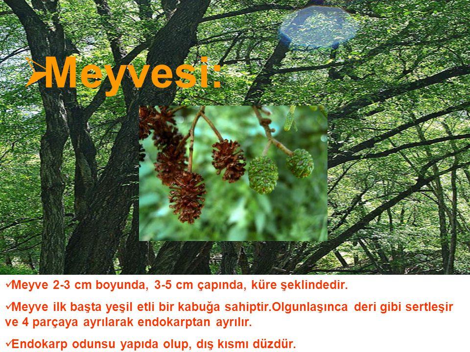 Meyvesi: Meyve 2-3 cm boyunda, 3-5 cm çapında, küre şeklindedir.