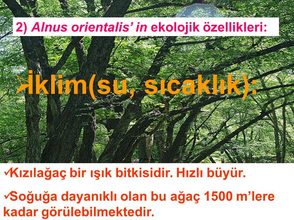 İklim(su, sıcaklık): 2) Alnus orientalis' in ekolojik özellikleri: