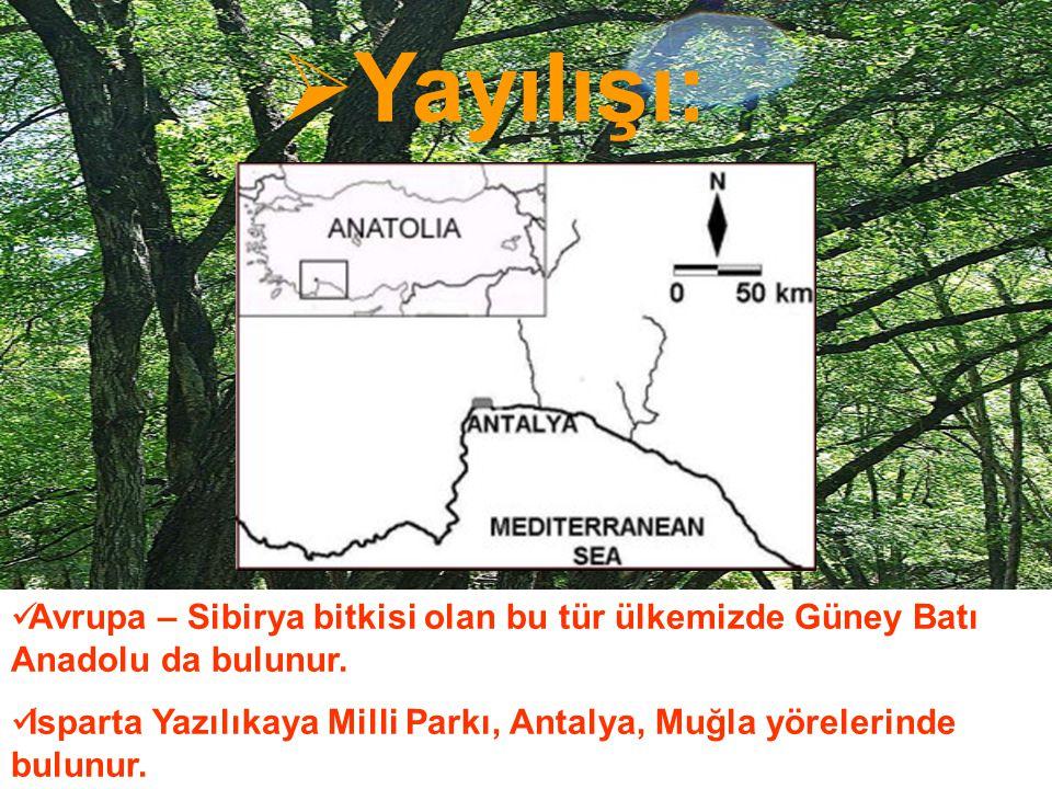 Yayılışı: Avrupa – Sibirya bitkisi olan bu tür ülkemizde Güney Batı Anadolu da bulunur.