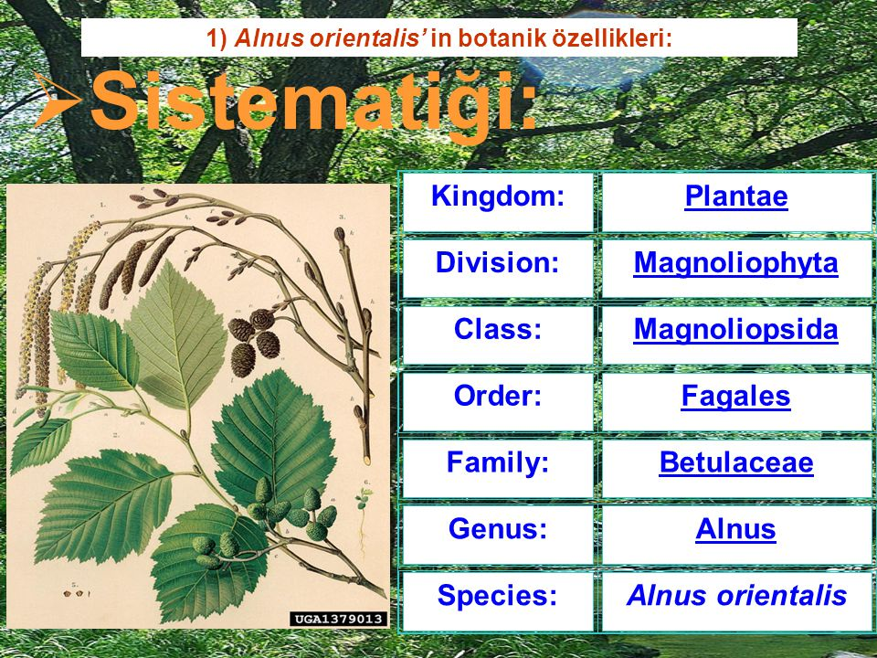 1) Alnus orientalis' in botanik özellikleri: