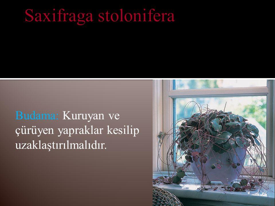 Saxifraga stolonifera