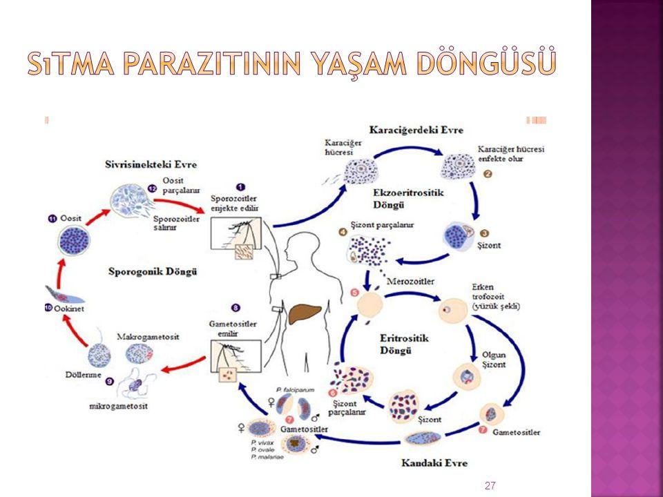 Sıtma parazitinin yaşam döngüsü