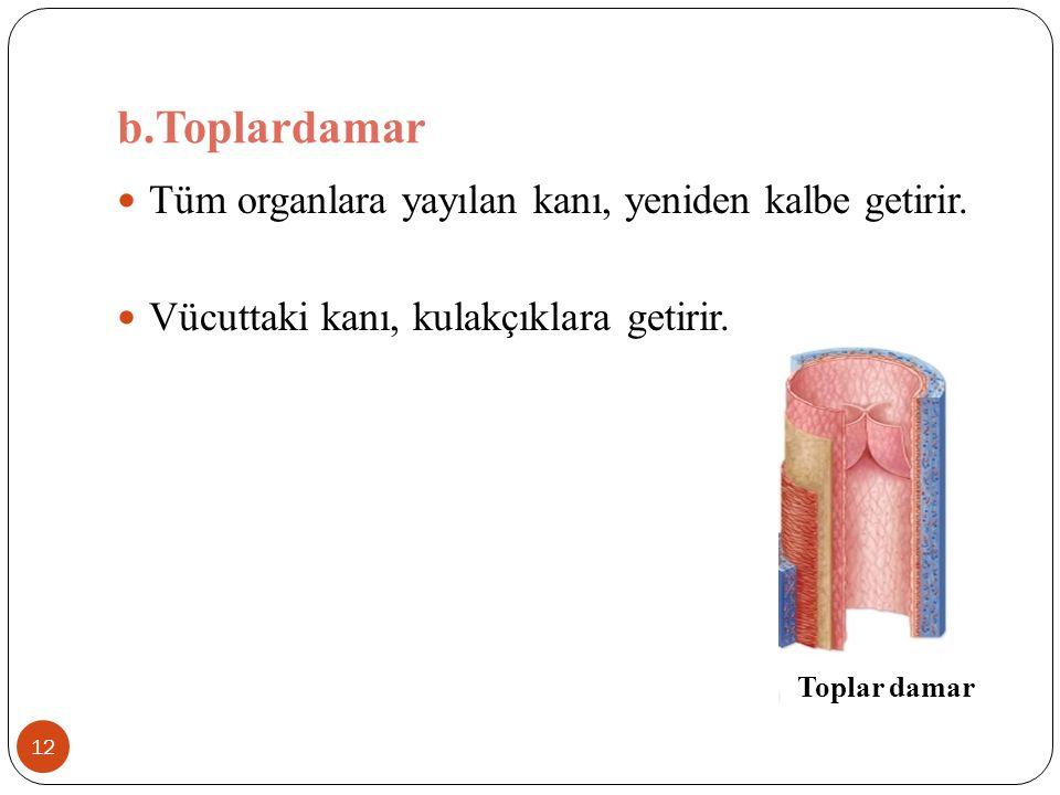 b.Toplardamar Tüm organlara yayılan kanı, yeniden kalbe getirir.