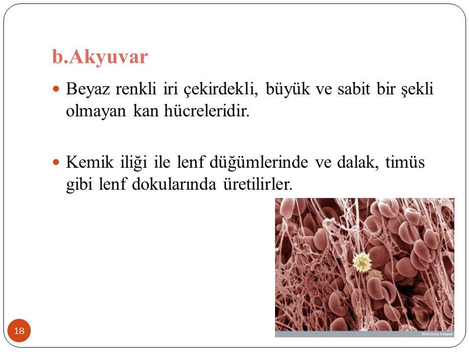 b.Akyuvar Beyaz renkli iri çekirdekli, büyük ve sabit bir şekli olmayan kan hücreleridir.