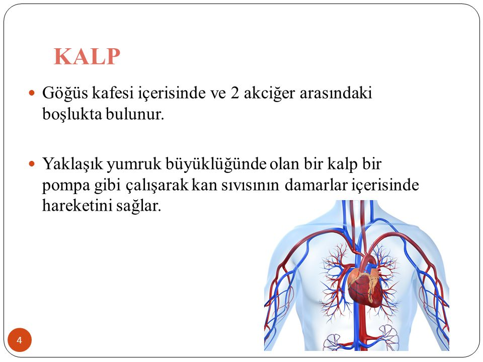 KALP Göğüs kafesi içerisinde ve 2 akciğer arasındaki boşlukta bulunur.