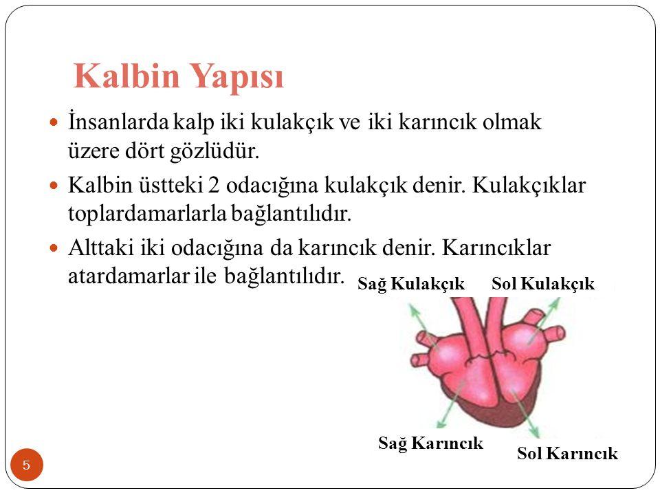 Kalbin Yapısı İnsanlarda kalp iki kulakçık ve iki karıncık olmak üzere dört gözlüdür.