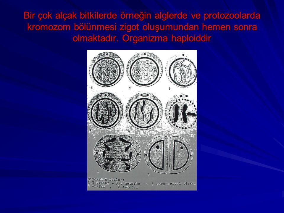 Bir çok alçak bitkilerde örneğin alglerde ve protozoolarda kromozom bölünmesi zigot oluşumundan hemen sonra olmaktadır.