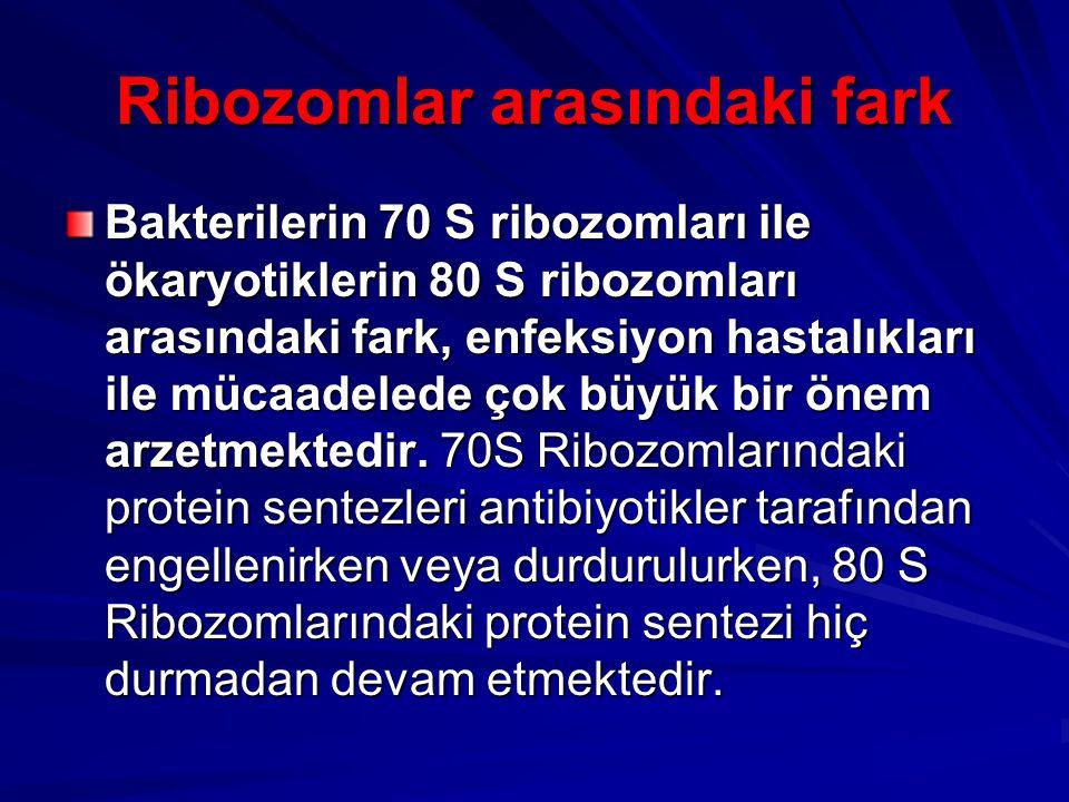 Ribozomlar arasındaki fark