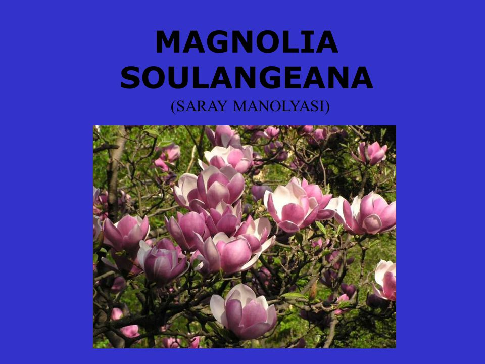 MAGNOLIA SOULANGEANA (SARAY MANOLYASI)