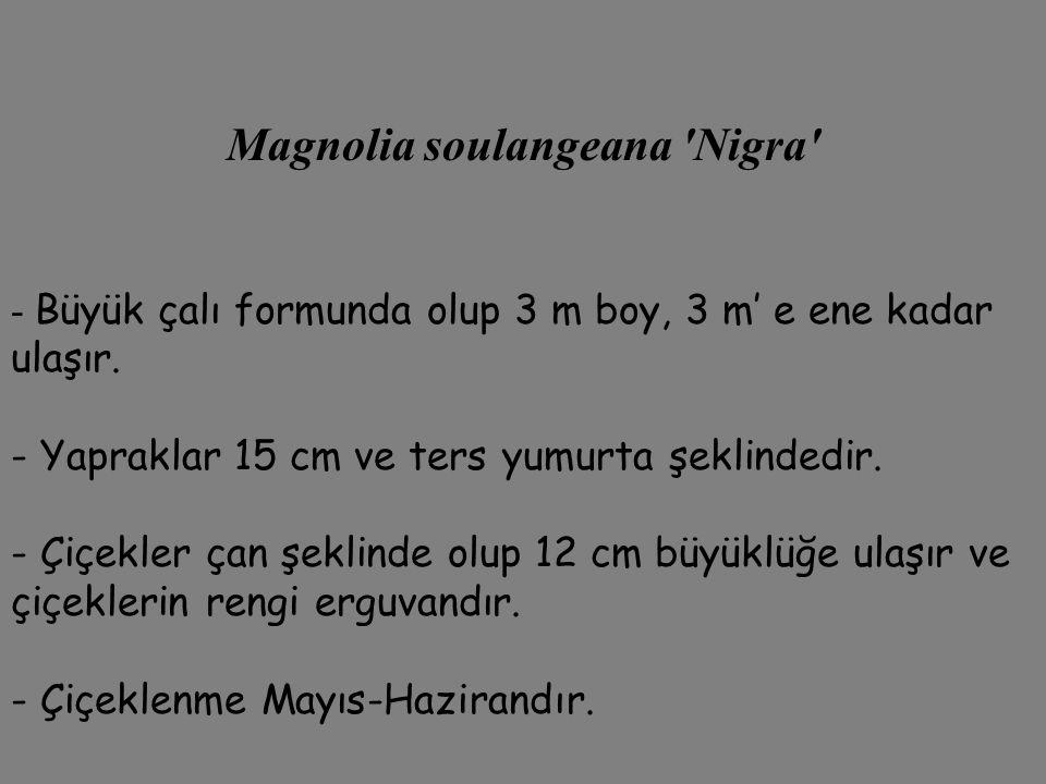 Magnolia soulangeana Nigra
