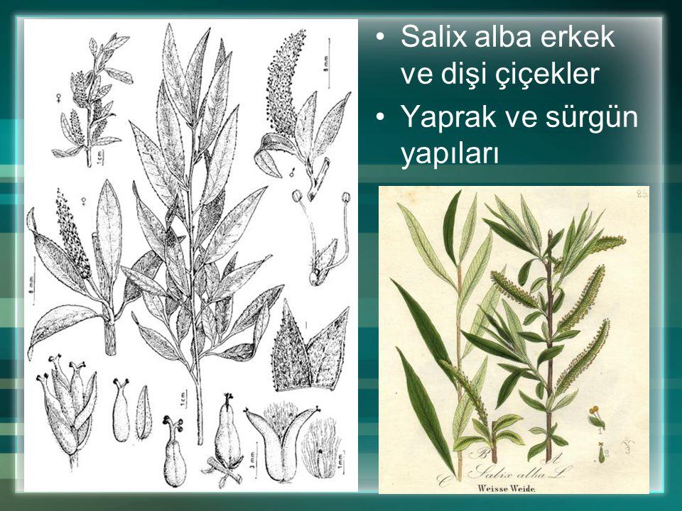 Salix alba erkek ve dişi çiçekler