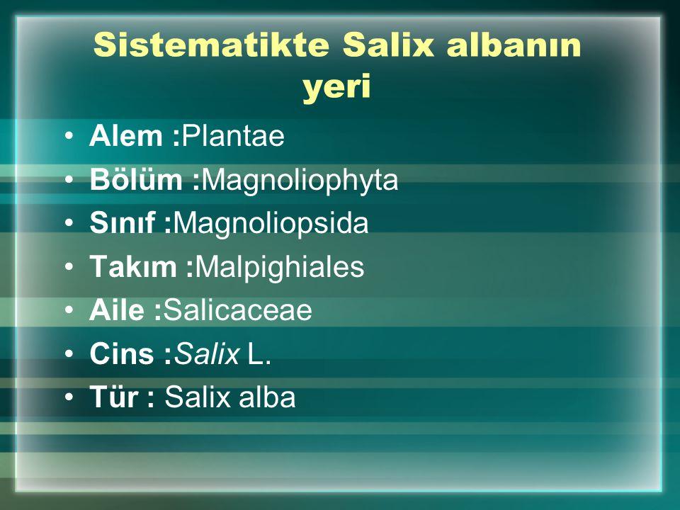 Sistematikte Salix albanın yeri