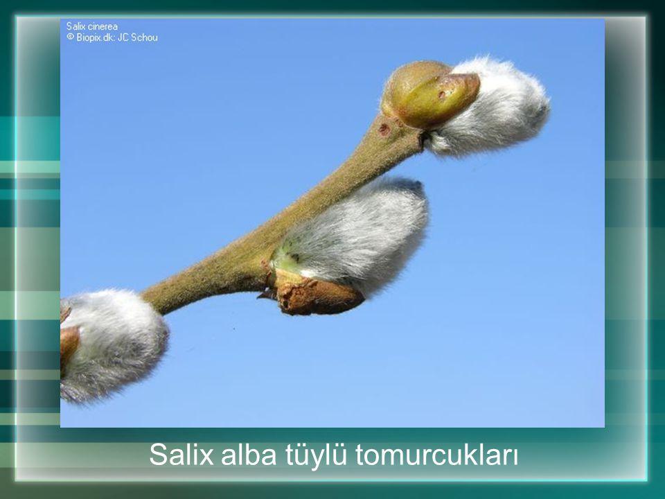 Salix alba tüylü tomurcukları