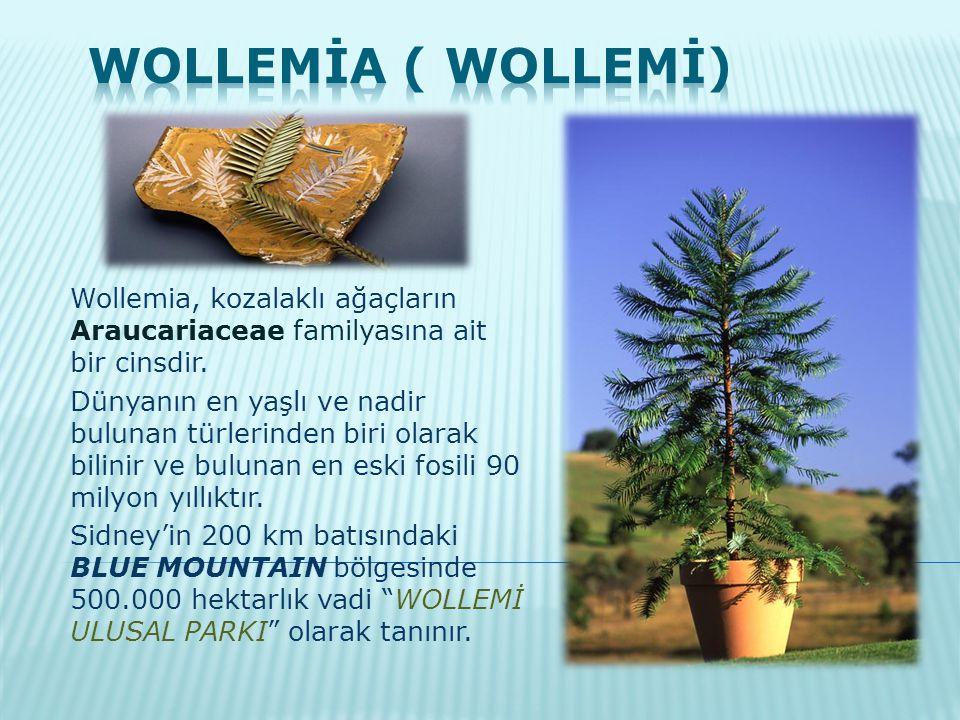 WOLLEMİA ( WOLLEMİ) Wollemia, kozalaklı ağaçların Araucariaceae familyasına ait bir cinsdir.