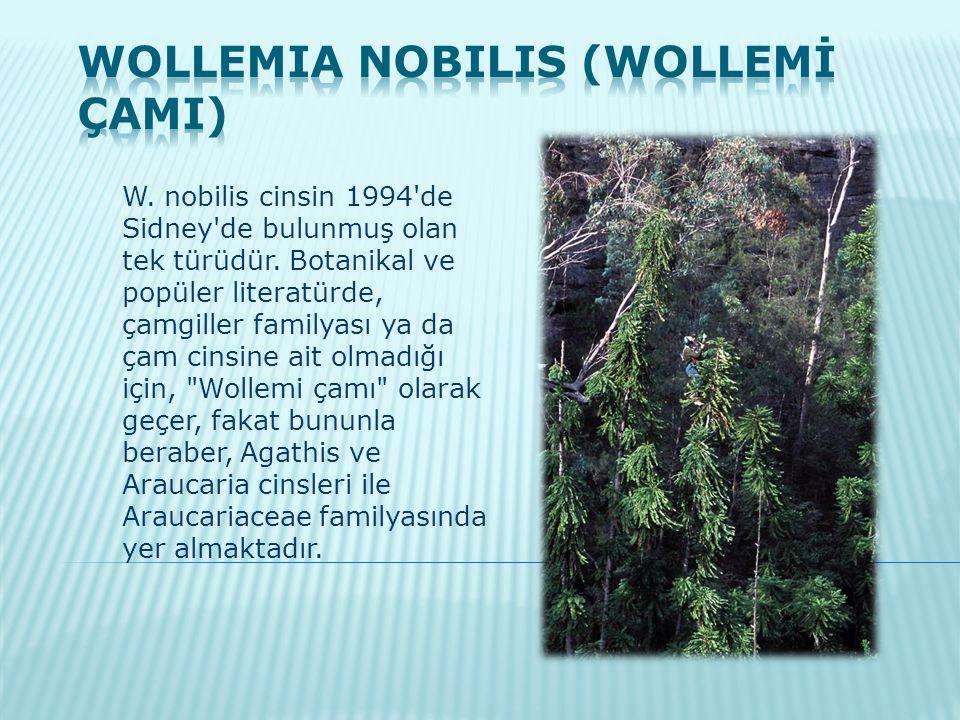Wollemia nobilis (Wollemİ ÇamI)