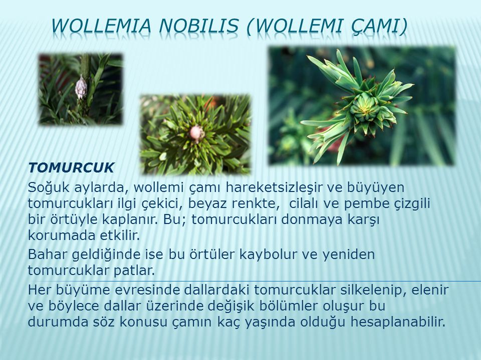 Wollemia nobilis (Wollemi ÇamI)