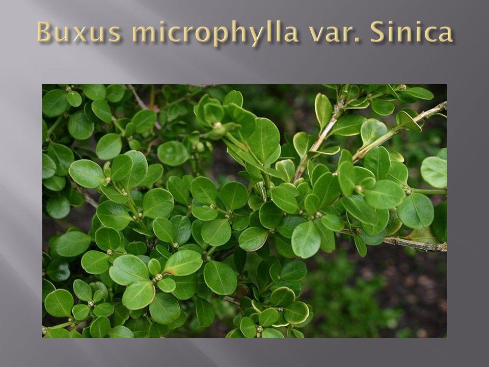 Buxus microphylla var. Sinica