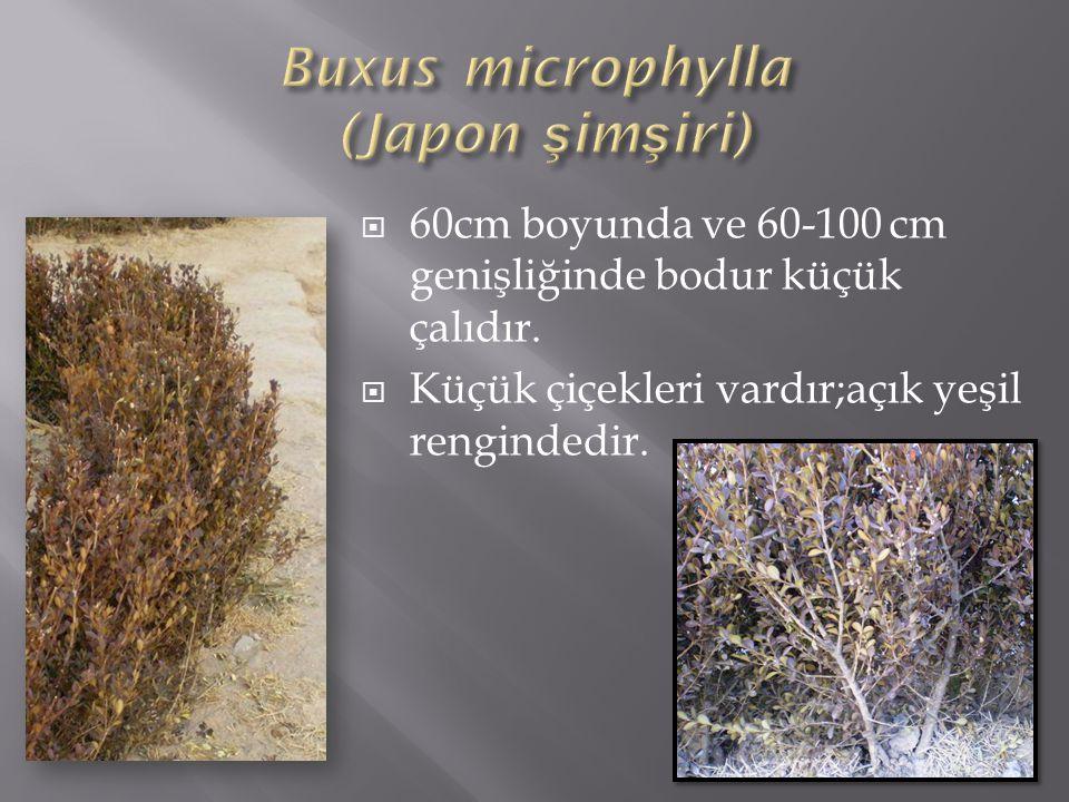 Buxus microphylla (Japon şimşiri)