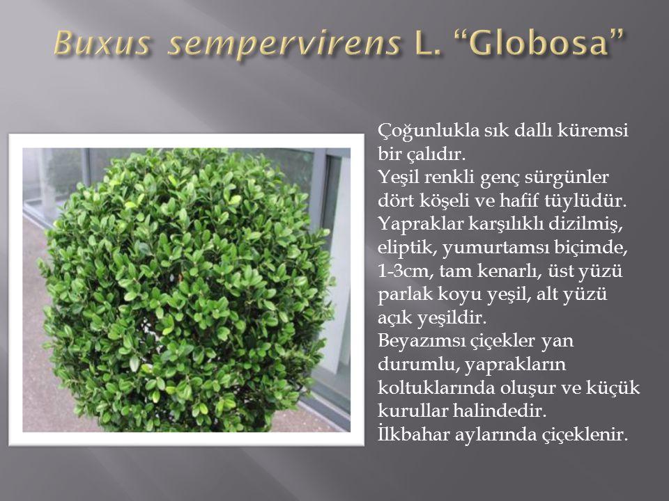 Buxus sempervirens L. Globosa