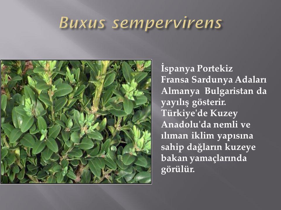 Buxus sempervirens İspanya Portekiz Fransa Sardunya Adaları
