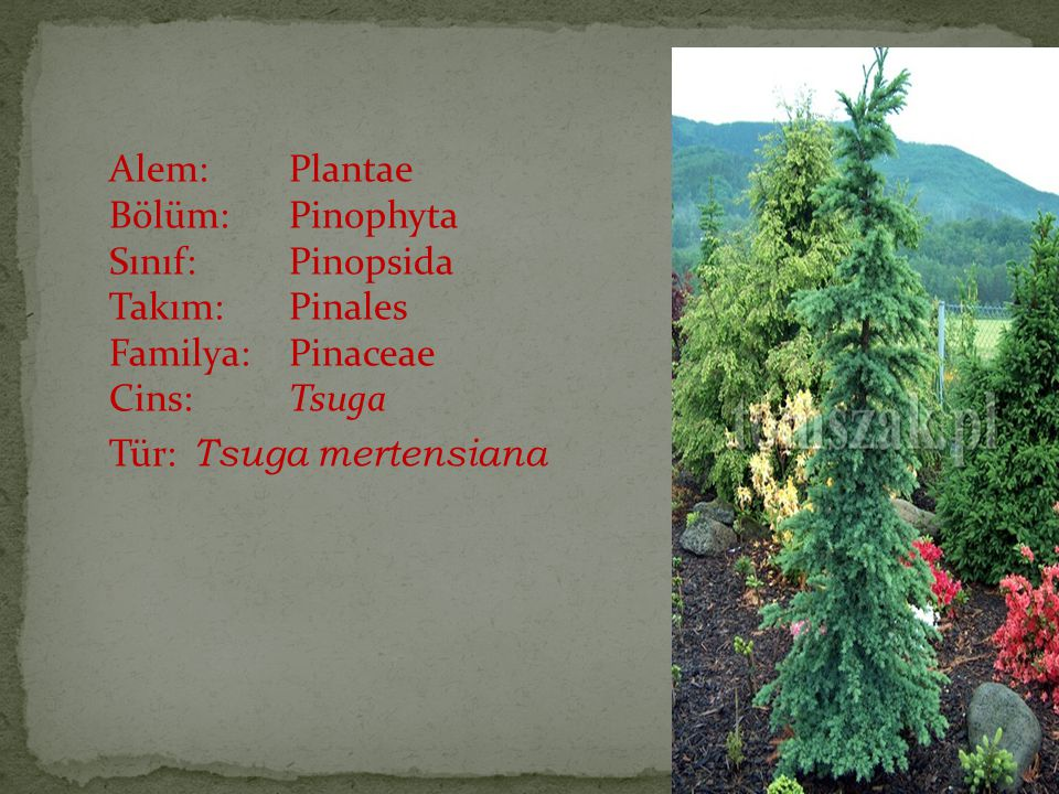 Alem: Plantae Bölüm: Pinophyta Sınıf: Pinopsida Takım: Pinales Familya: Pinaceae Cins: Tsuga Tür: Tsuga mertensiana