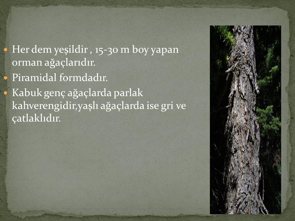 Her dem yeşildir , 15-30 m boy yapan orman ağaçlarıdır.