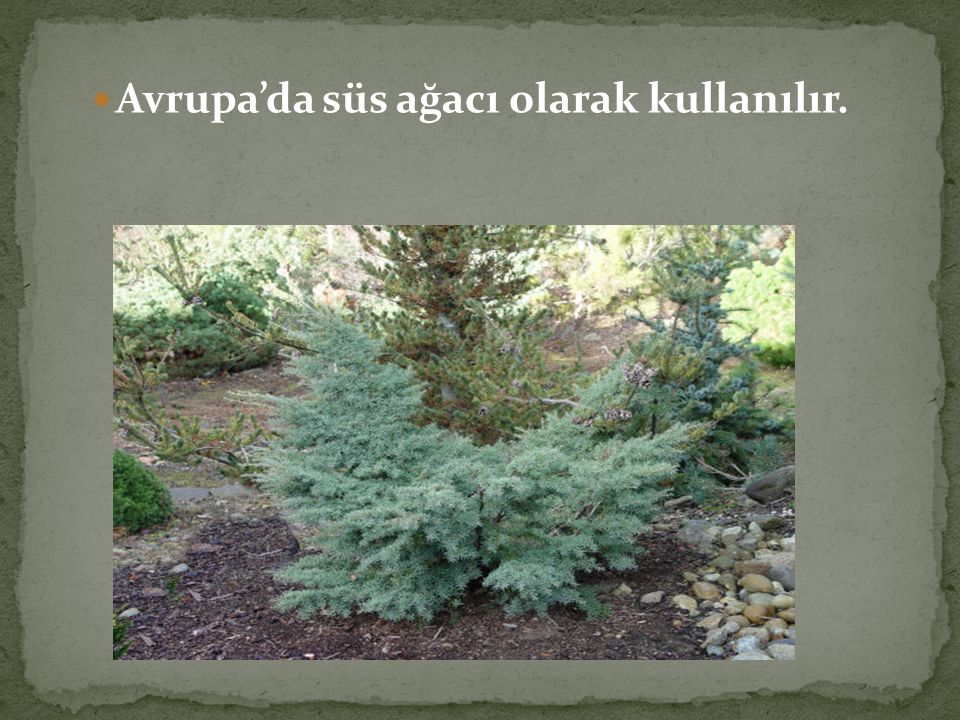 Avrupa'da süs ağacı olarak kullanılır.