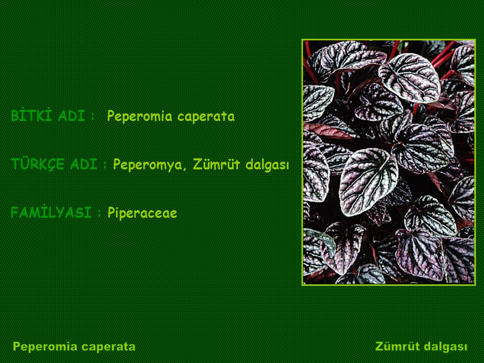 Peperomia caperata Zümrüt dalgası BİTKİ ADI : Peperomia caperata