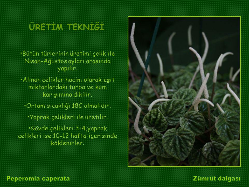 Peperomia caperata Zümrüt dalgası ÜRETİM TEKNİĞİ